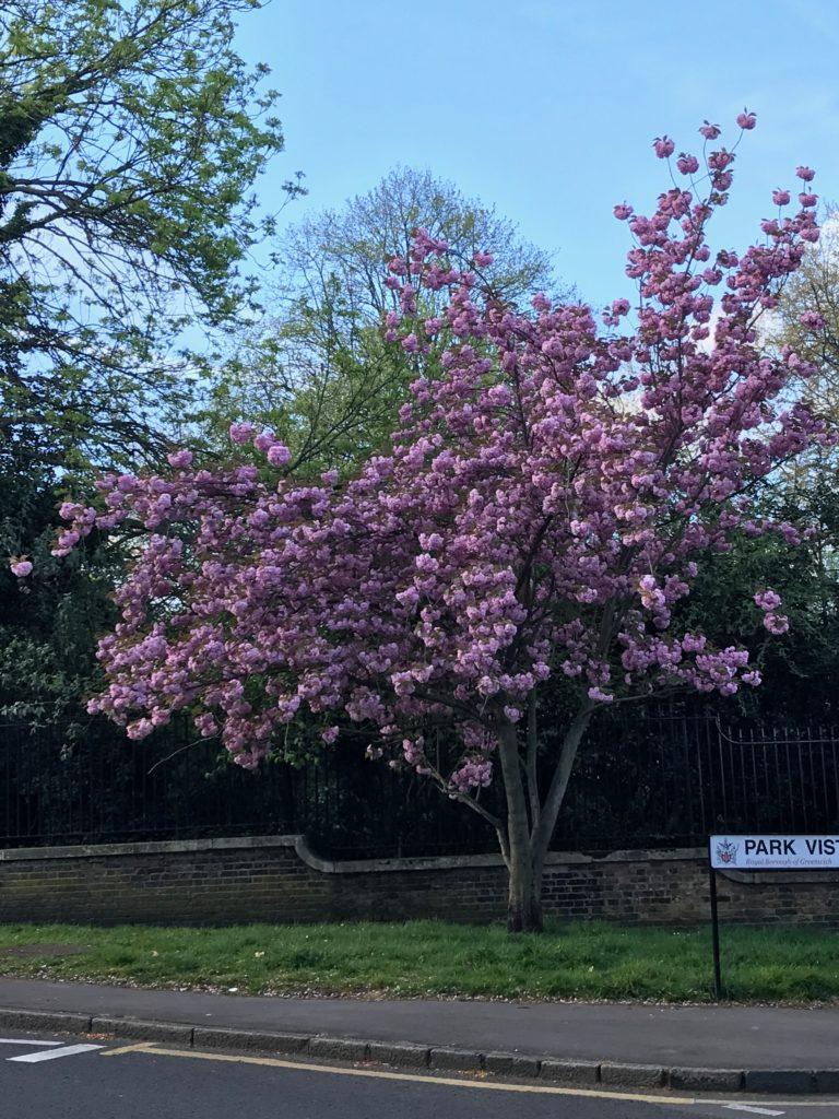 桜 cherryblossom グリニッジパーク Greenwich park イギリス